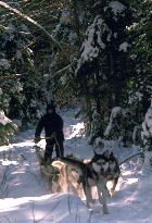 Musher w.his Dog Sled in Canada, photo Assiniboine Tipis