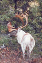 Barren Ground Caribou in Canada